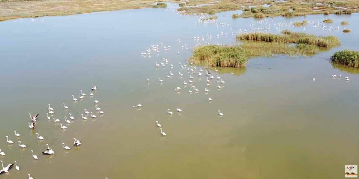 Εντυπωσιακά πλάνα με φοινικόπτερα στη Λιμνοθάλασσα Καλοχωρίου (video)