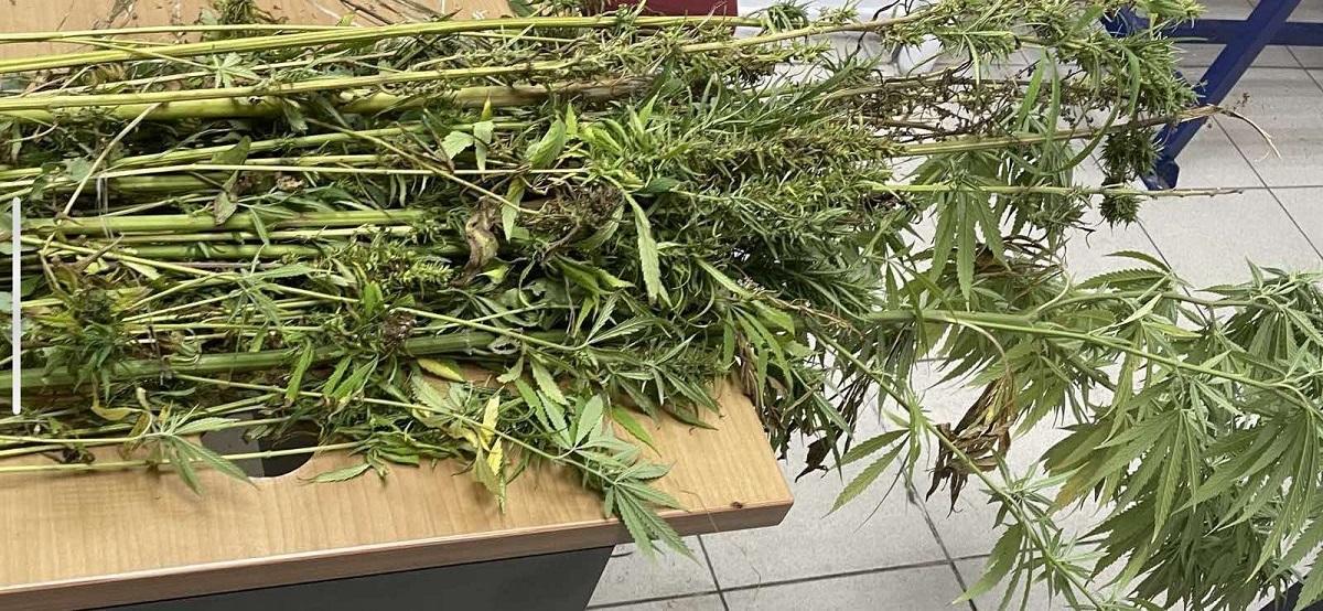 Καλλιεργούσε κάνναβη σε αρδευτικό κανάλι στην Πιερία