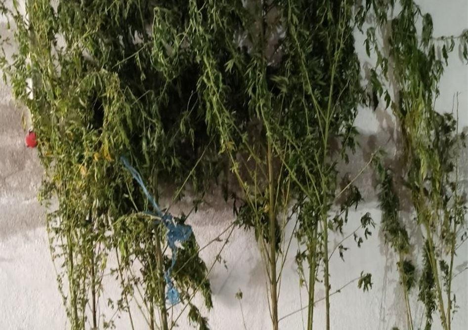 Σέρρες: Καλλιεργούσε κάνναβη σε αγροτική περιοχή και συνελήφθη (VIDEO)