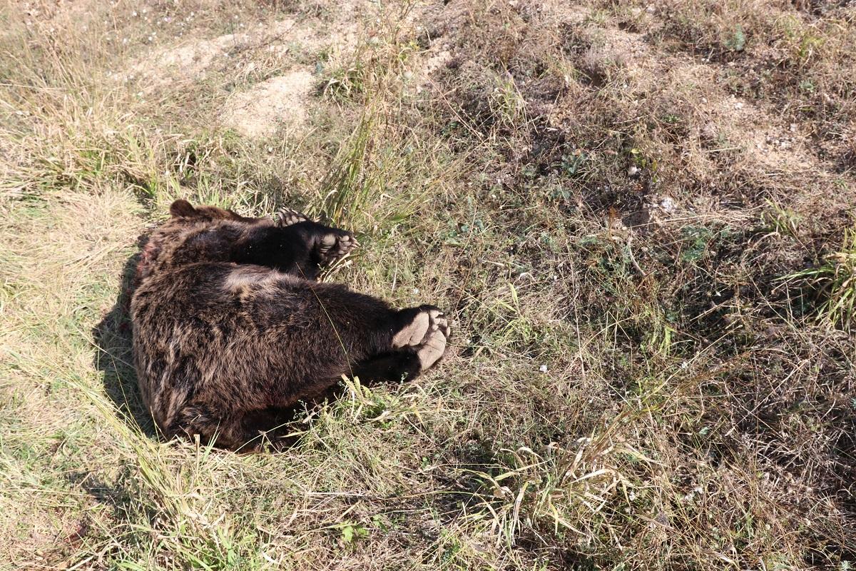 Νεκρή αρκούδα από πυροβολισμό στο Βροντερό Πρεσπών