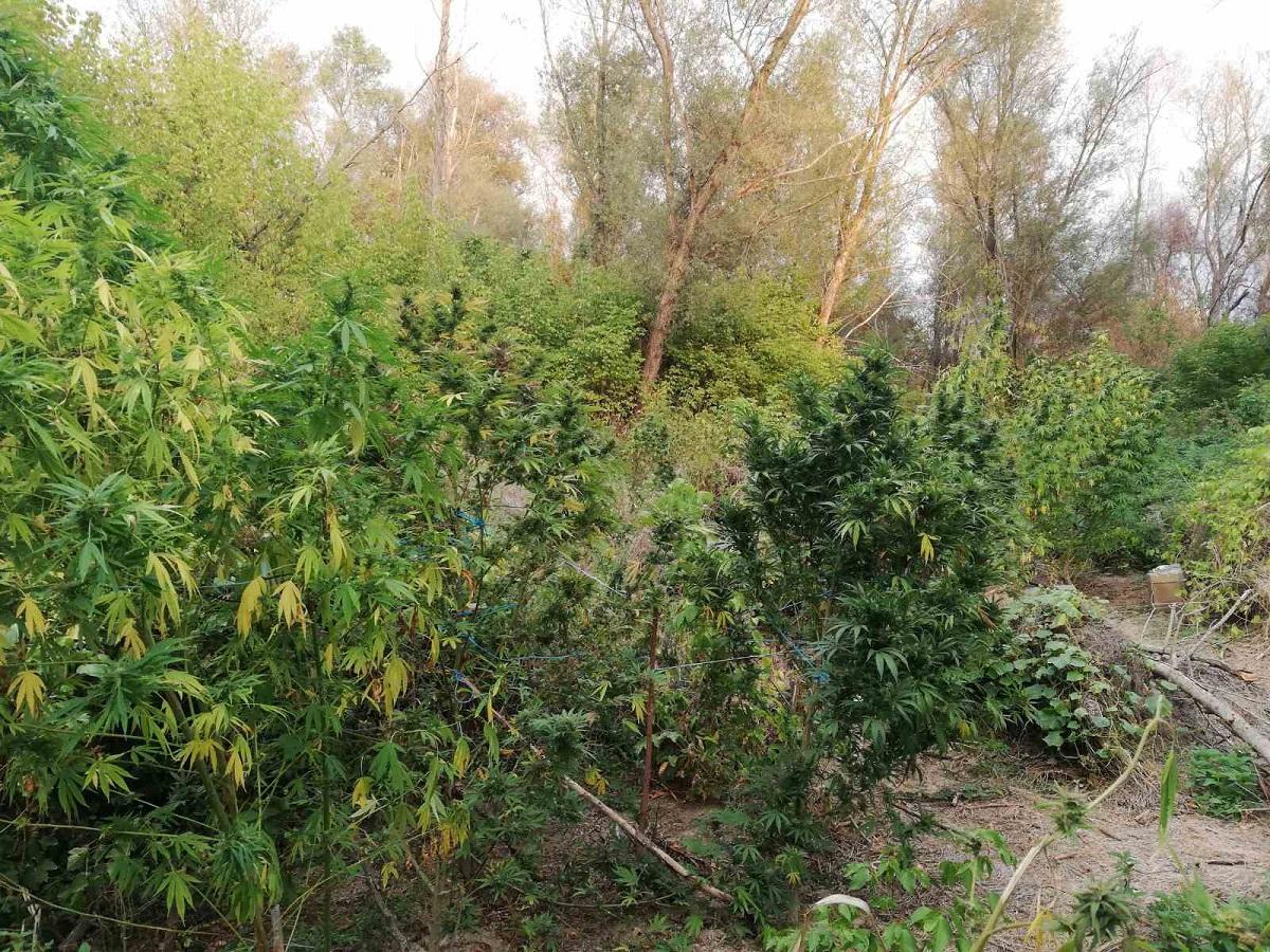 Ημαθία: Εντοπίστηκαν δύο φυτείες κάνναβης – Δύο συλλήψεις (ΦΩΤΟ)