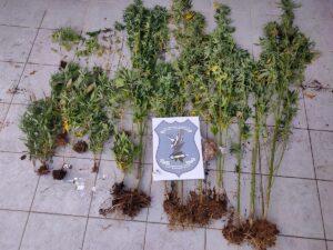 Ο «Ακύλας» εντόπισε 26 δενδρύλλια κάνναβης στη Χαλκιδική