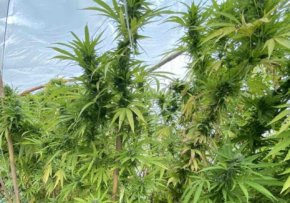 Κατερίνη: Καλλιεργούσε στο σπίτι του δενδρύλλια κάνναβης ύψους 3,2 μέτρων (VIDEO)