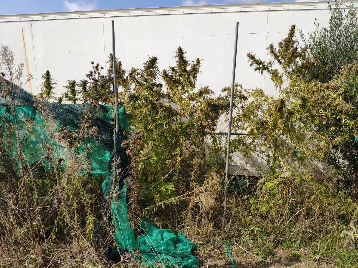 Συνελήφθησαν αδέρφια στη Χαλκιδική για καλλιέργεια κάνναβης (ΦΩΤΟ)