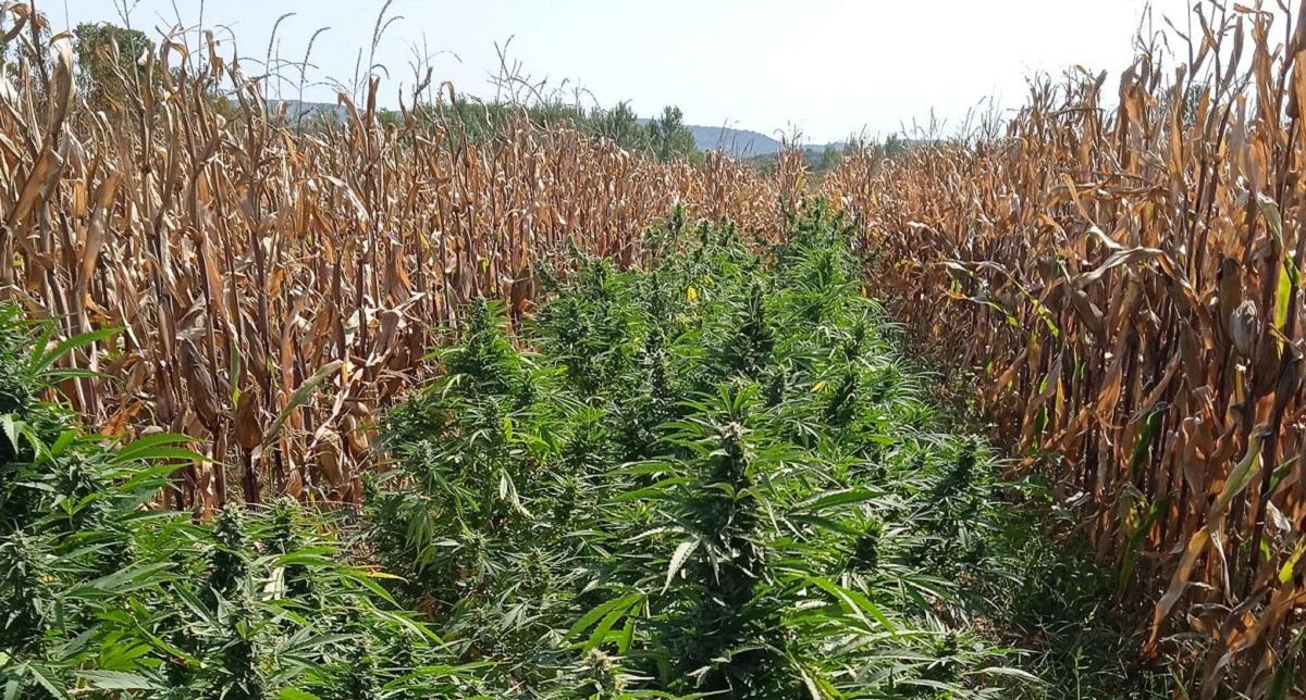 Πέλλα: Σύλληψη για καλλιέργεια 63 δενδρυλλίων κάνναβης (ΦΩΤΟ)